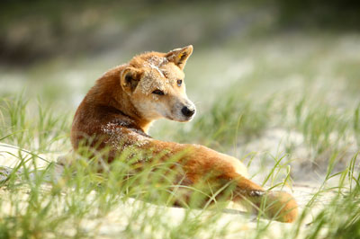 Dingo on Fraser Island, Eliza Fraser Lodge eco-tourism
