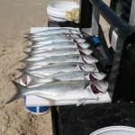 Nine tailor fish caught with Eliza Fraser Lodge eco-tourism on beautiful Fraser Island, Australia